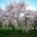 Two White Weeping Cherry Trees