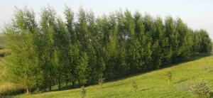 willow-hybrid