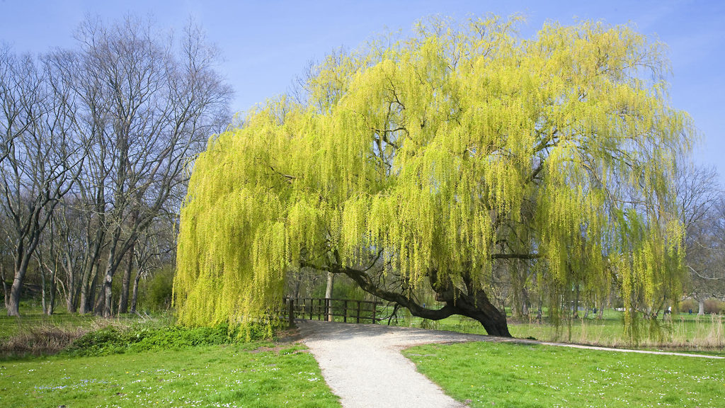 Large Weeping Willow Tree