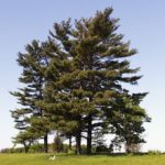 Michigan State Tree Eastern White Pine