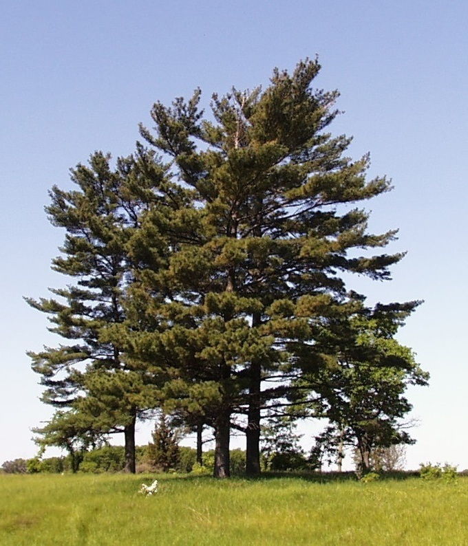 Michigan State Tree