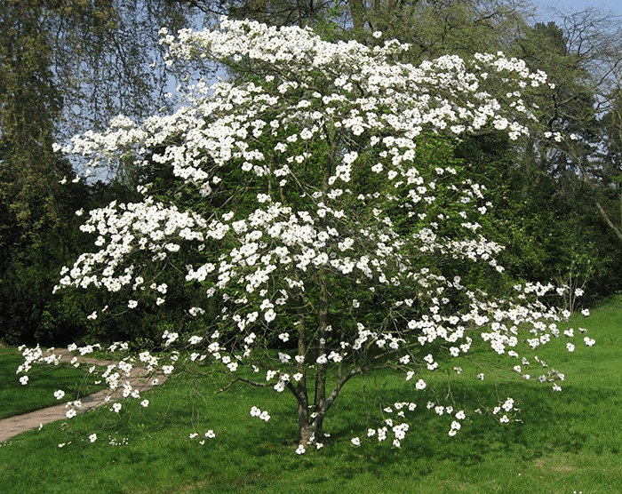 Missouri State Tree - Flowering Dogwood