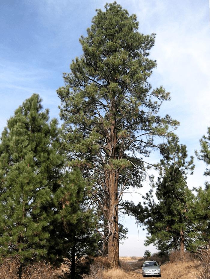 Montana State Tree - Pinus Ponderosa