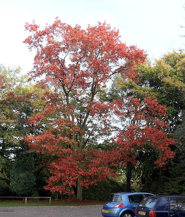 New Jersey State Tree - Red Oak