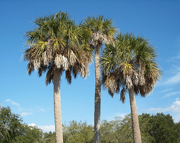 South Carolina State Tree