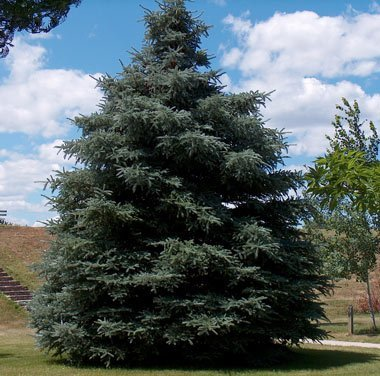 South Dakota State Tree