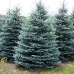 Utah State Tree - Blue Spruce