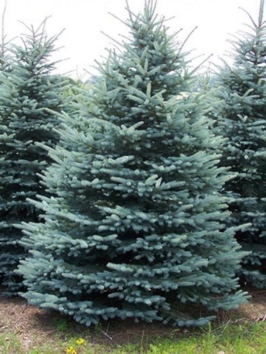 Buy Evergreen Trees Online The Tree Center
