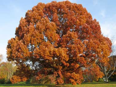 Vermont State Tree - Sugar Maple