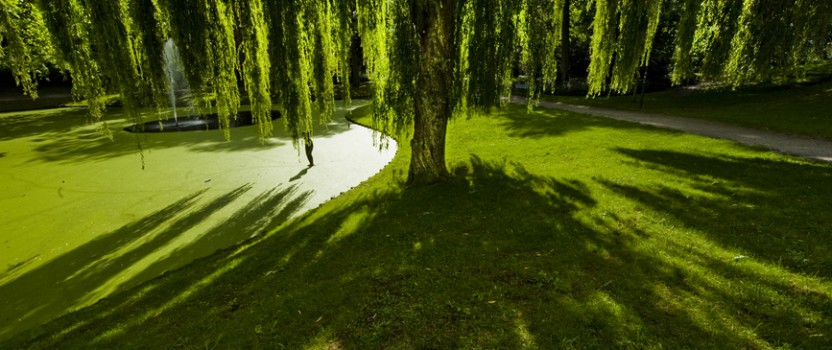 Everything To Know Before You Buy Weeping Willow Trees
