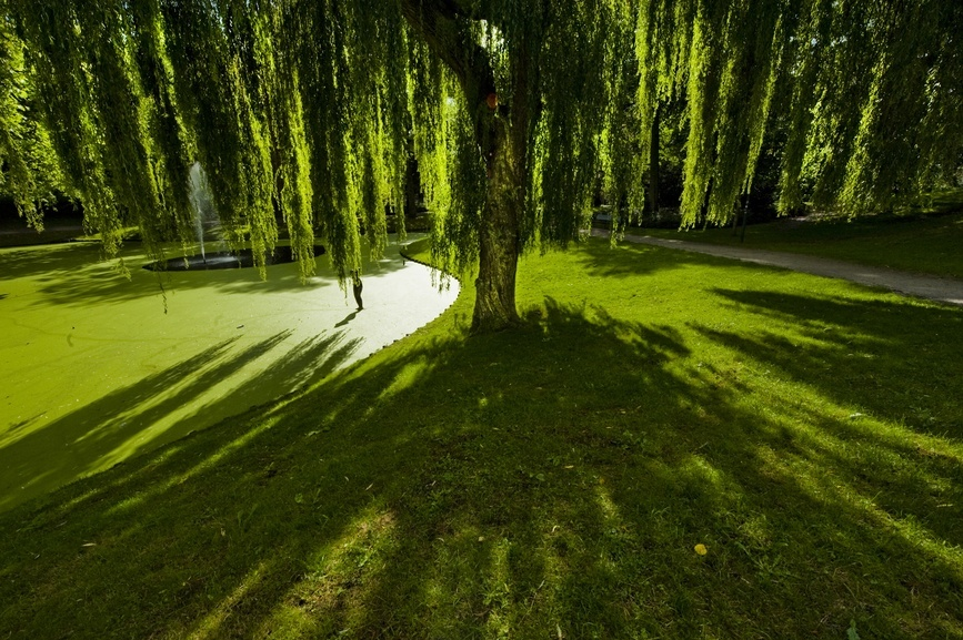 weeping willow tree guide  the tree center™, Natural flower