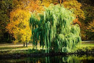 Weeping Willow On Lake Bank