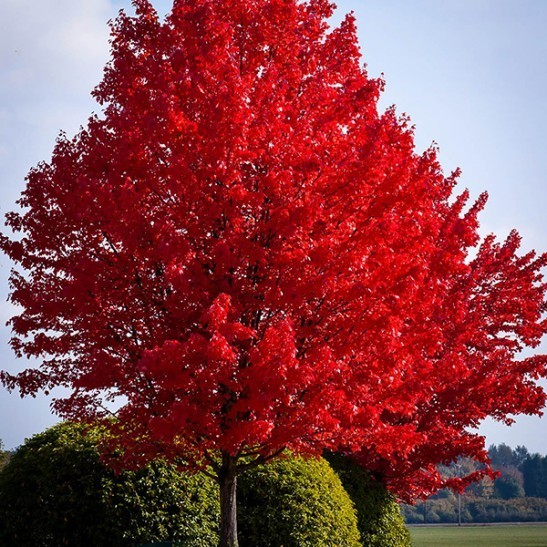 American red maple for sale the tree center for Maple trees for sale
