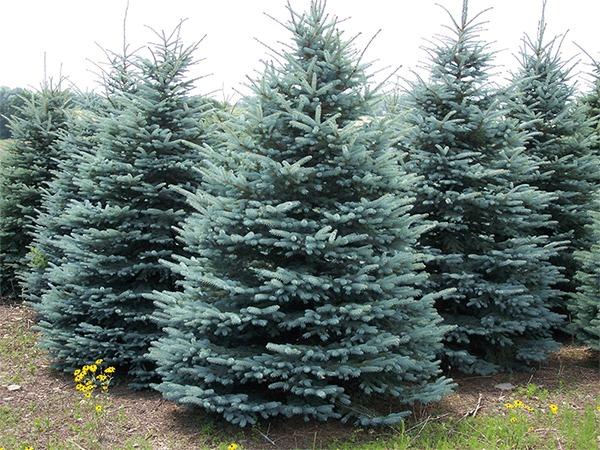 colorado-state-tree-blue_spruce