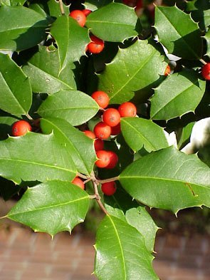 delaware-state-tree-american-holly