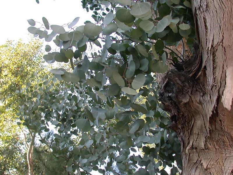 eucalyptus tree leaves. Black Bedroom Furniture Sets. Home Design Ideas