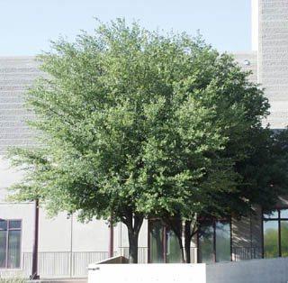 Georgia Trees For Sale The Tree Center