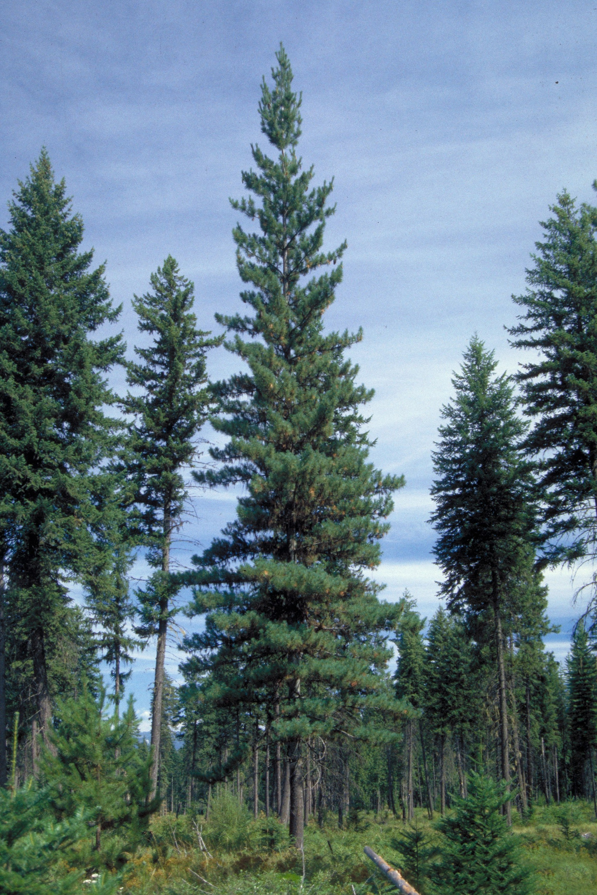 Idaho Trees For Sale The Tree Center