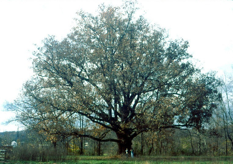 Illinois State Tree Quercus Alba