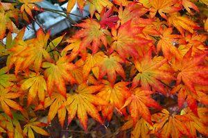 katsura-japanese-maple