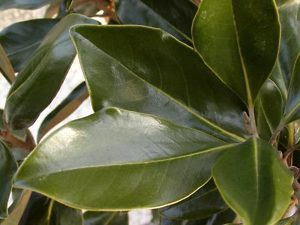 Magnolia Tree Leaf and Leaves