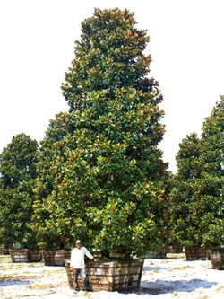Magnolia Tree Transplant