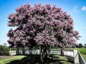 Muskogee Crape Myrtle Tree in Bloom