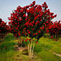 Red Rocket Crape Myrtle Tree in Bloom