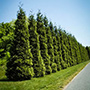 Row of Thuja Green Giants