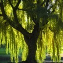 Weeping Willow Canopy