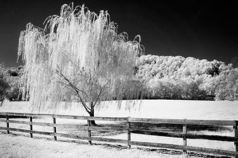 Weeping Willow On Farm