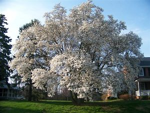 White Magnolia Tree Flowers