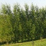 Row of Willow Hybrid Trees