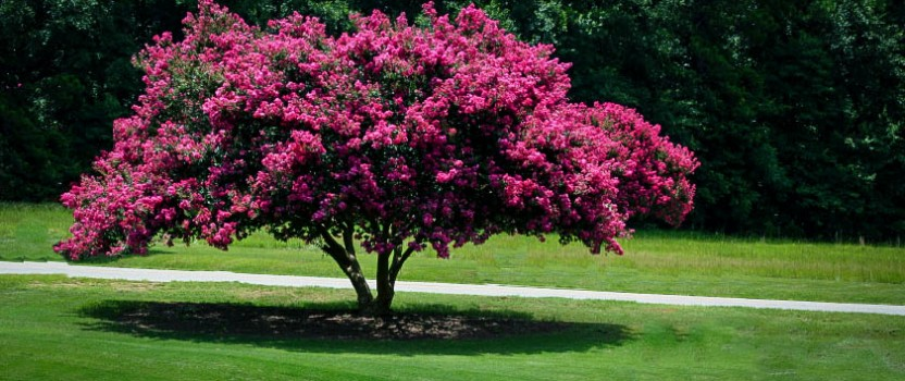 Crape myrtle varieties and guide the tree center for Garden trees types