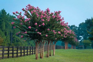 Row of Pink Crape Myrtle Trees