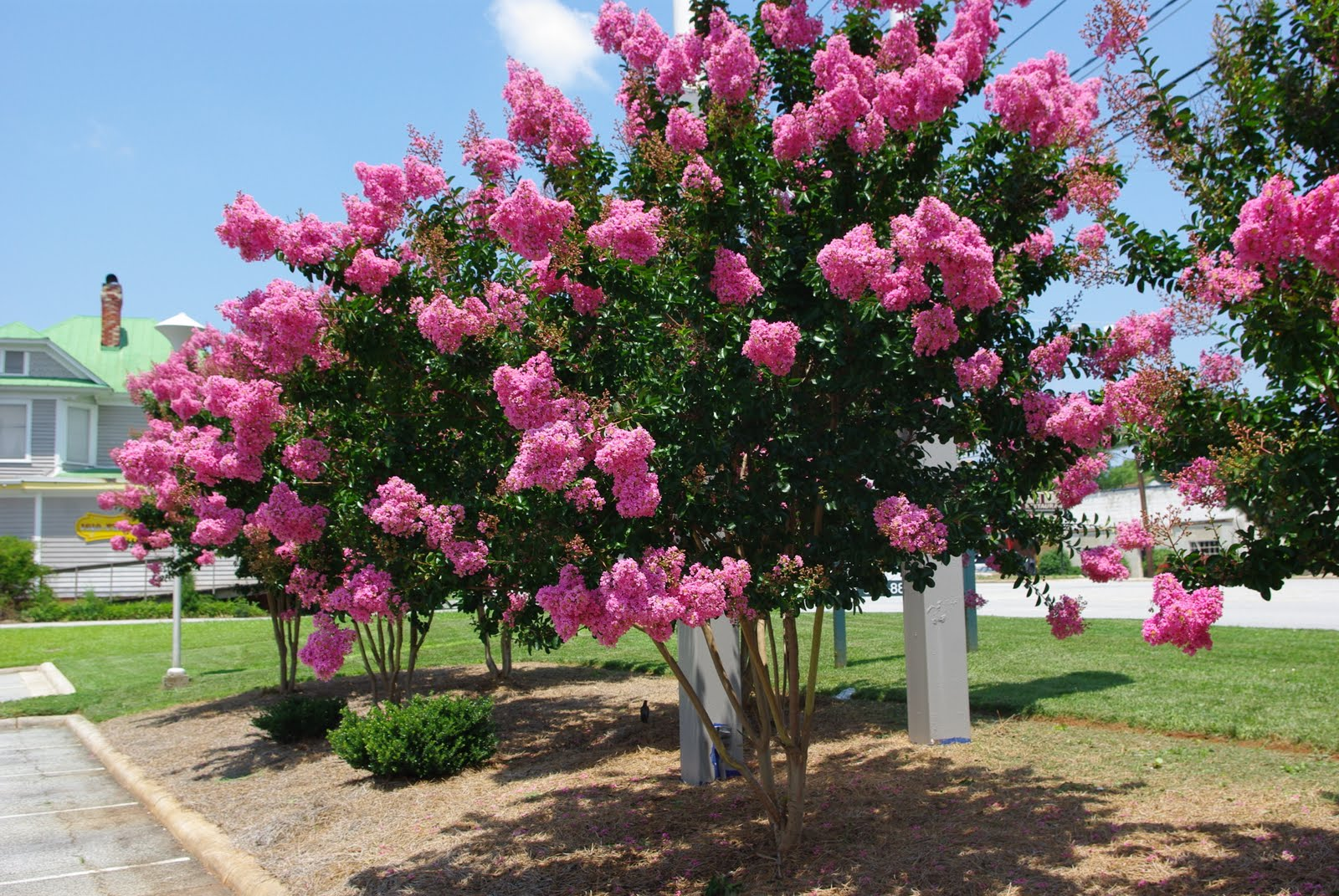 Crepe myrtle crepe myrtle trees the tree center for Tree with red flowers