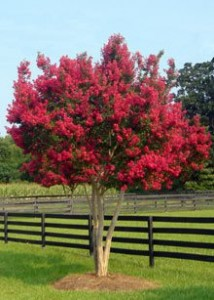 Strawberry Razzle Dazzle Crape Myrtle