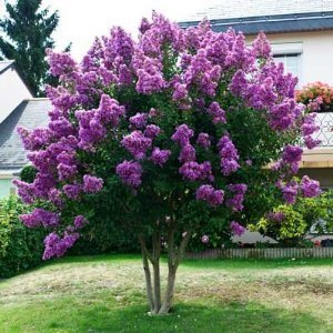 Twilight Crape Myrtle Tree