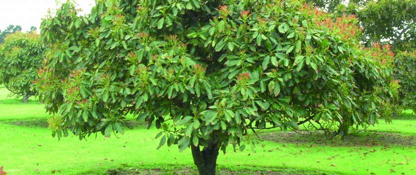Avocado Tree Care The Tree Center