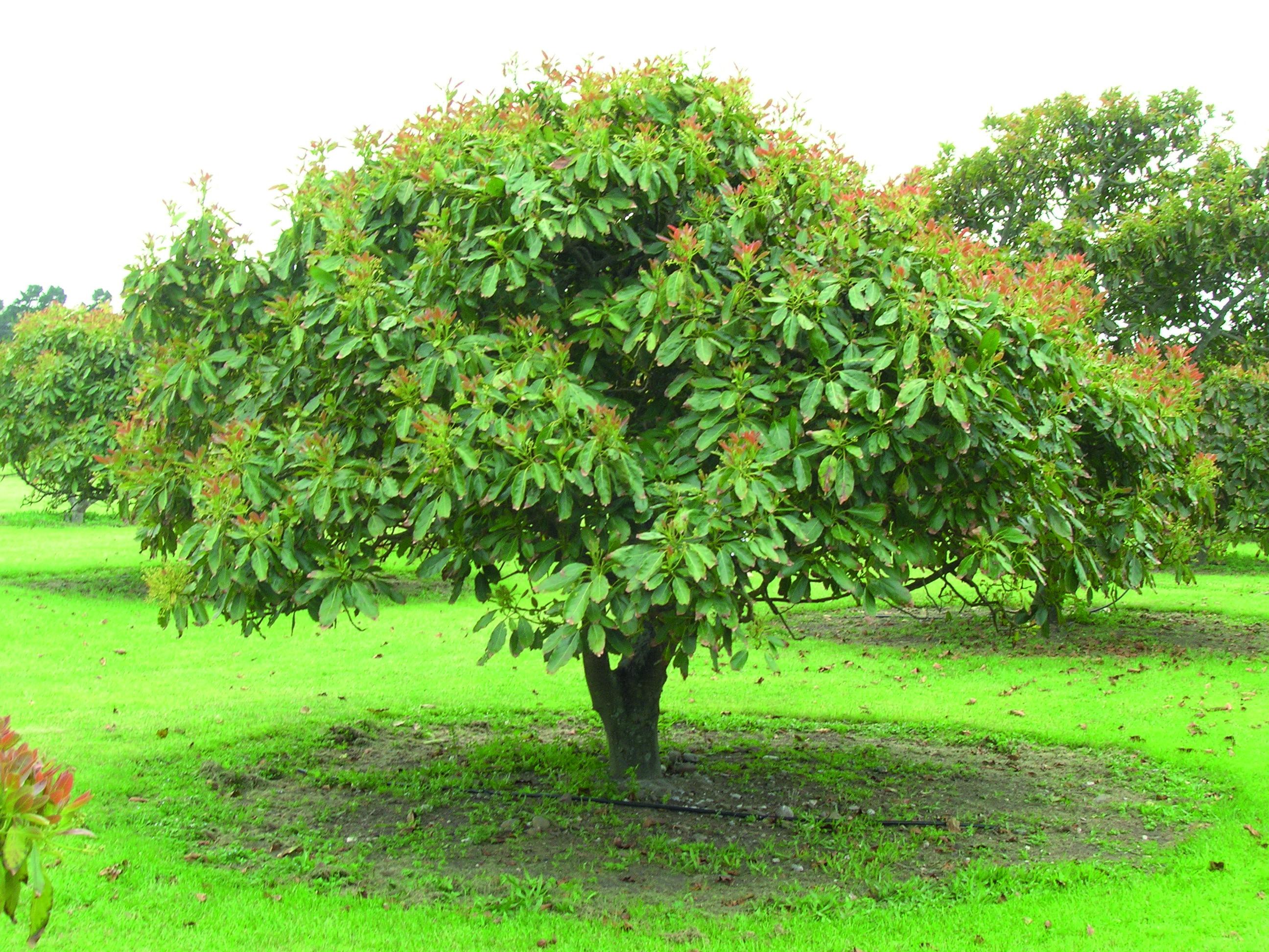 Avocado Tree Care The Tree Center
