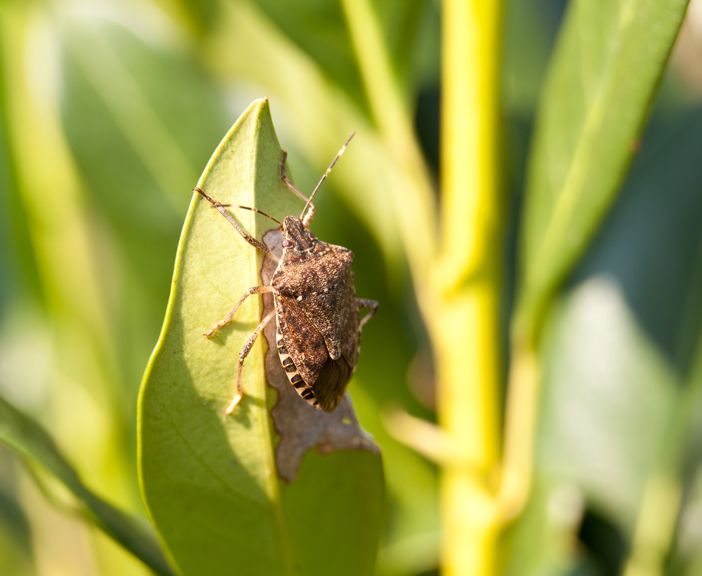 How to get rid of stink bugs the tree center - How to get rid of stink bugs in garden ...