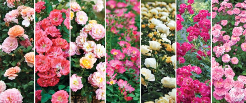 Roses as Landscape Plants