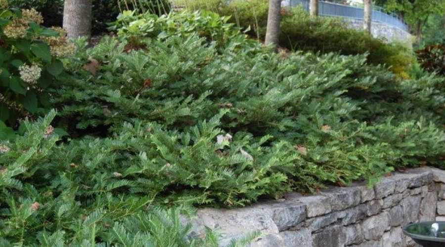 Plum Yew – a Shade Evergreen You Should Grow