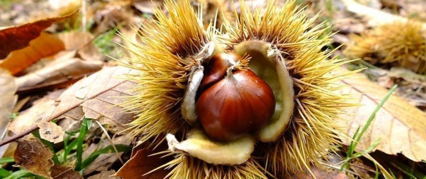 Welcome Back to the American Chestnut