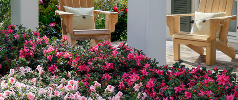 Encore Azaleas – The Flowers that Keep on Giving