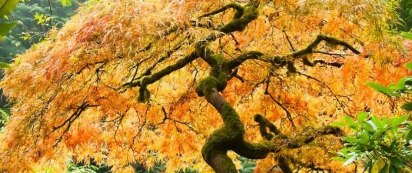The World of Japanese Maples