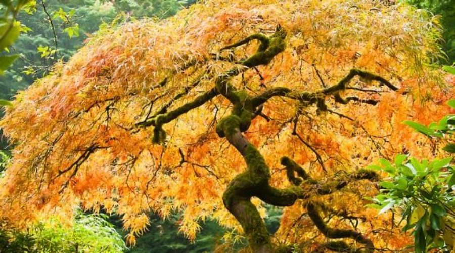 Japanese Maples for Fall Color