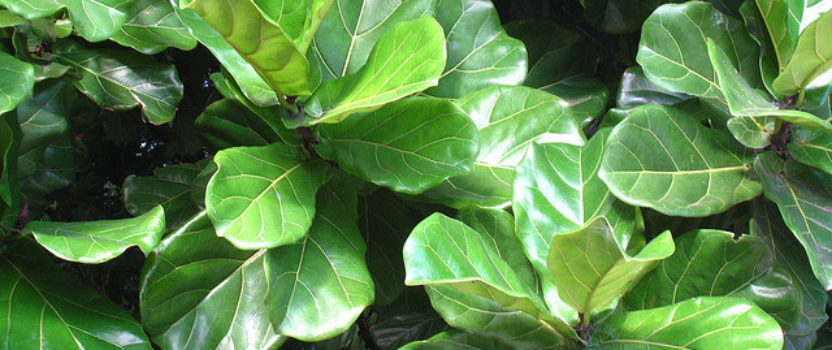 The Fiddle Leaf Fig – the Latest Indoor Hit