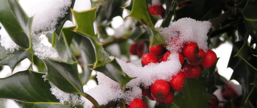 Holly Berries for Every Garden
