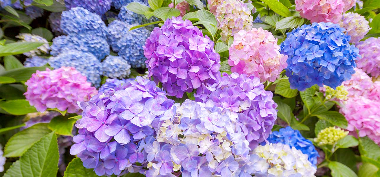 Hydrangea Queen Of The Shade